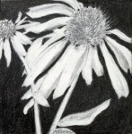 """Cone Flowers 3″"