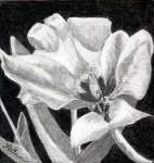 """""""Tulip I"""""""