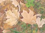 """""""Sugar Maple (Detail)"""""""